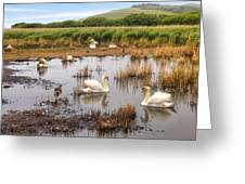 Abbotsbury Swannery Greeting Card