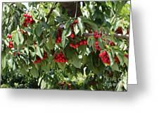 Abundant Cherries Greeting Card