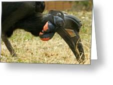 Abyssinian Ground Hornbill Greeting Card