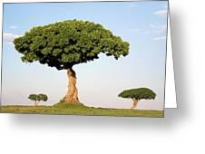 Acacia Trees Masai Mara Kenya Greeting Card