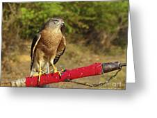 Accipiter Badius - Shikra Greeting Card