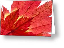 Acer From Beneath Greeting Card
