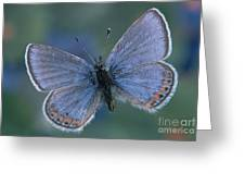Acmon Blue Butterfly Plebejus Acmon Greeting Card