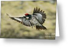 Acorn Woodpecker Greeting Card