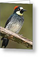 Acorn Woodpecker Melanerpes Greeting Card