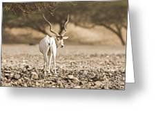 Addax Addax Nasomaculatus Greeting Card