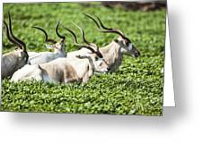 Addax Nasomaculatus Greeting Card