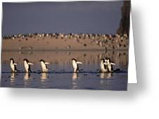 Adelie Penguin Group Commuting Cape Greeting Card