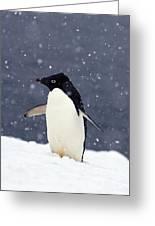 Adelie Penguin Standing In Fresh Greeting Card