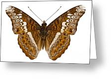Admiral Limenites Butterfly Greeting Card