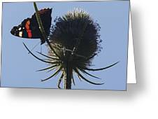 Admiral Teasel Greeting Card