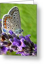 Adonis Blue Butterfly Of Monteriggioni Greeting Card