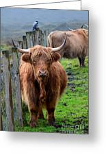 Adorable Highland Cow Greeting Card