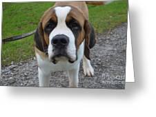 Adorable Saint Bernard Dog Greeting Card