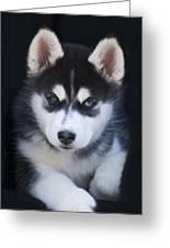 Adorable Siberian Husky Sled Dog Puppy Greeting Card