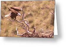 Adult Eagle With Eaglet  Greeting Card