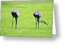 Adult Florida Sandhill Cranes Grus Canadensis Pratensis I Usa Greeting Card