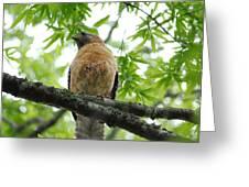 Adult Red Shouldered Hawk Greeting Card