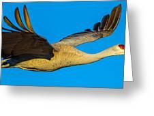 Adult Sandhill Crane Greeting Card