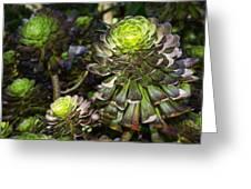 Aeonium Glow Greeting Card