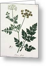 Aethusa Cynapium From Phytographie Greeting Card