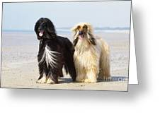 Afghan Hound Dogs Greeting Card