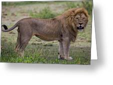 Africa Tanzania Male African Lion Greeting Card
