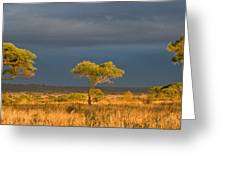 African Acacia Sunrise Greeting Card