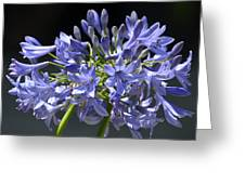 African Blue Lily Greeting Card