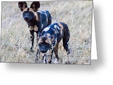 African Cape Hunting Dogs Greeting Card