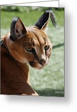 African Caracal Lynx  Greeting Card