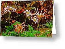African Daisies In Aswan Botanical Garden On Plantation Island In Aswan-egypt Greeting Card