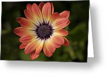 African Daisy - Bicolor Osteospermum Greeting Card