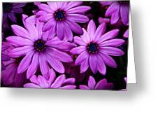 African Daisy Photo Digital Art Greeting Card