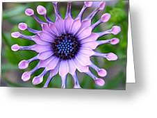African Daisy - Square Format Greeting Card
