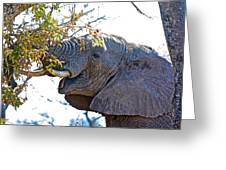 African Elephant Browsing In Kruger National Park-south Africa Greeting Card