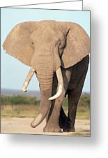 African Elephant Bull Amboseli Greeting Card