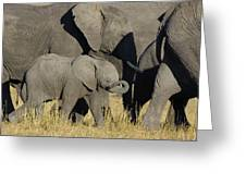 African Elephant Calf With The Herd Greeting Card