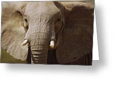 African Elephant Close Up Amboseli Greeting Card