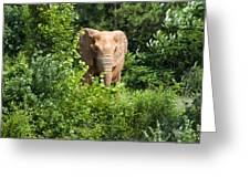 African Elephant Eating In The Shrubs Greeting Card