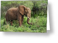 African Elephant Grazing Serengeti Greeting Card