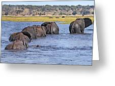 African Elephants Crossing Chobe River  Botswana Greeting Card