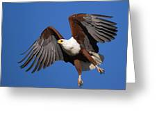 African Fish Eagle Greeting Card