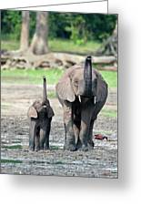 African Forest Elephant And Calf Greeting Card