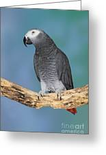 African Gray Parrot Greeting Card