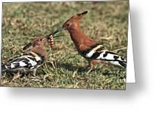 African Hoopoe Feeding Young Greeting Card