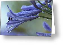 African Lilies  Greeting Card
