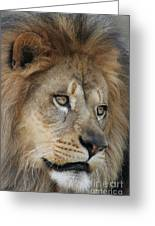 African Lion #5 Greeting Card