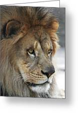 African Lion #8 Greeting Card