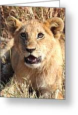 African Lion Cub Resting Greeting Card